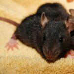 house-mice-570x570