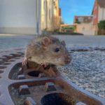 rat1DiePress