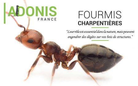 fourmis charpentiere traitement adonis SD